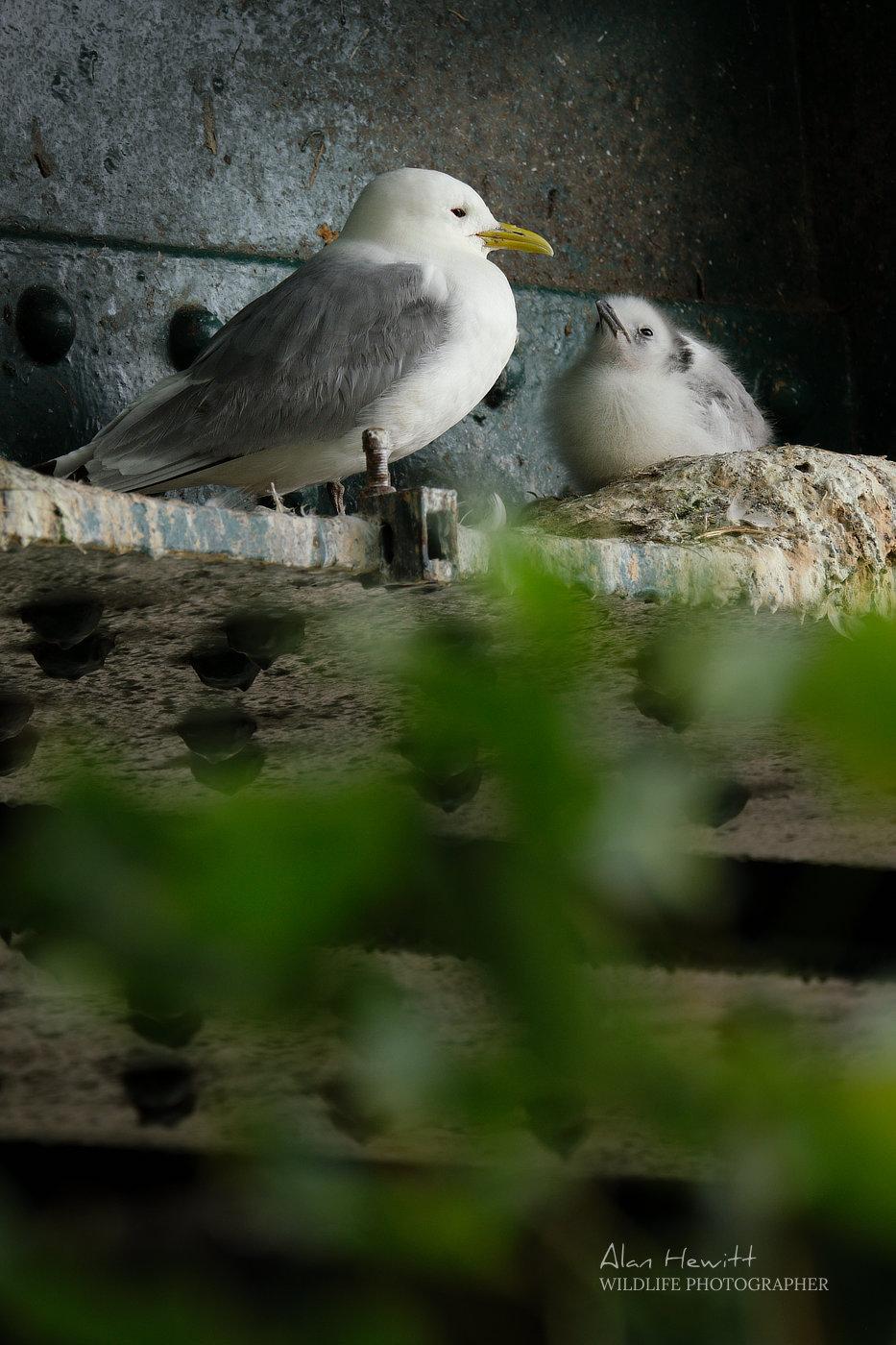 Adult kittiwake and chick Tyne Bridge Newcastle upon Tyne