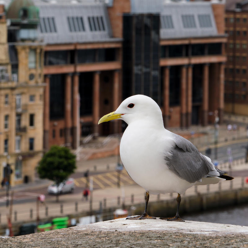 About Seabirds in the City