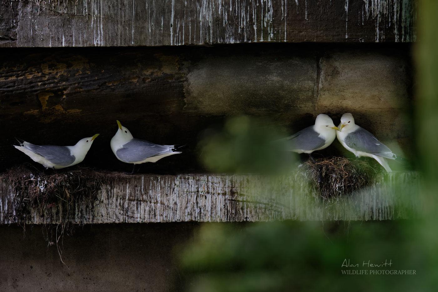Kittiwakes nesting beneath the Spa Bridge in Scarborough.